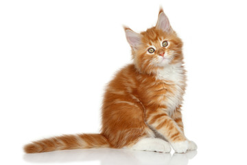 Maine Coon kitten on a white background