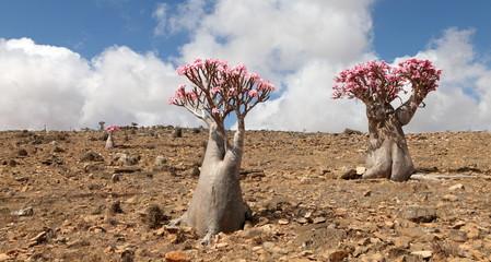Bottle tree in bloom - adenium obesum