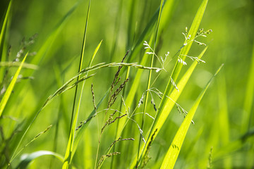 flowering grass in detail