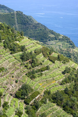Vines and hills at National Park of Cinque Terre, Italy