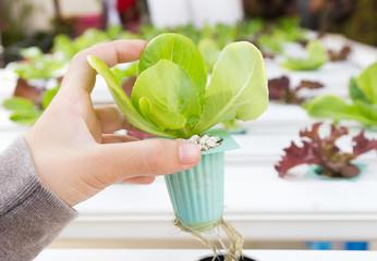 Organic hydroponic vegetable on hand
