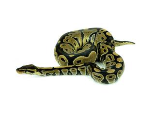 Royal Python, or Ball Python in studio against a white backgroun