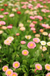 Bellis Perennis, colorful flowers in the garden