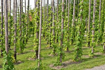 traditional hop garden