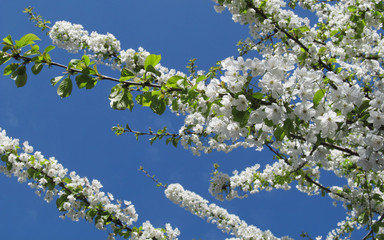 white blossom tree detail