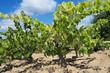 vines in a vineyard