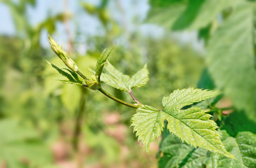 detail of hops