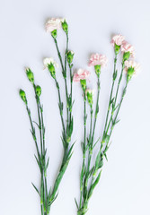 Light pink Carnation branch arranged on white background