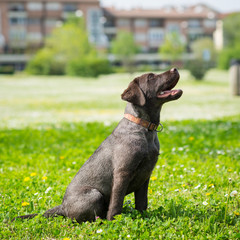 Puppy labrador black retriever dog portrait sit outdoor in a par