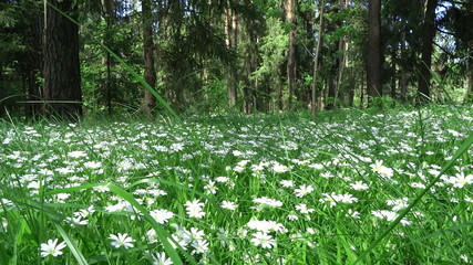 field flowers in the spring forest in Russia