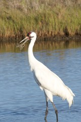 Whooping Crane with Crab