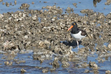 American Oystercatcher with One Leg