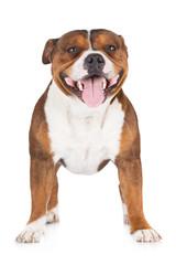 english staffordshire bull terrier dog
