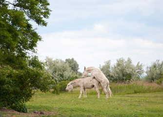 two white donkeys mating on the pasture