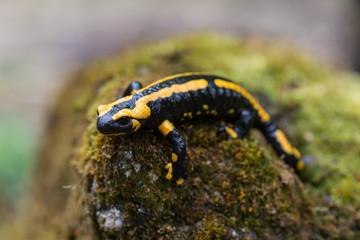 Feuersalamander, Fire salamander, Salamandra salamandra