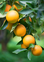 Oranges on a branch in a orchard