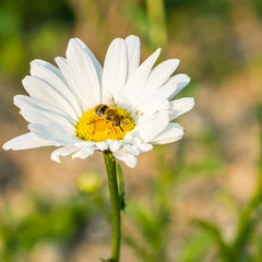 a bee in white flower
