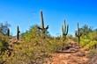 Saguaro cacti in the Arizona desert near Phoenix, USA
