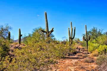 Saguaro cacti in the Arizona desert near Phoenix, USA