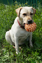 Dog Labrador retriver on green grass
