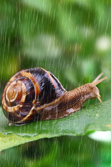 Snail crawling on leaf with rain and green background