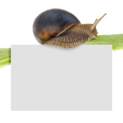 Snail on plant with blank card isolated on white