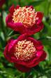 canvas print picture - rote Pfingstrosenblüten