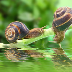 Snails crawling on plant with water and reflection