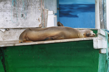 Sea Lion resting on a boat