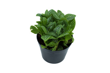 Little plant in a black pot on white background