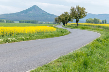 Asphalt road through the yellow colza field