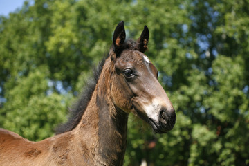 Portrait of a pretty foal in summer pasture.