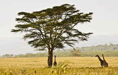 Acacia Tree and Giraffes (Giraffa camelopardalis) in Kenya