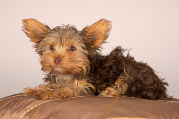 Tired cute little Yorkshire terrier resting on soft brown cushio