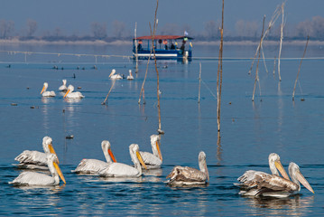 Dalmatian Pelicans in the Lake Kerkini, Greece