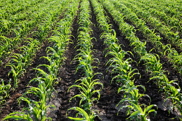 Agriculture, corn plant field in late spring