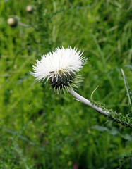White blossoming thistle