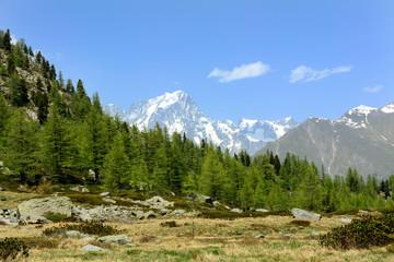 Conifere con il Monte Bianco sullo sfondo