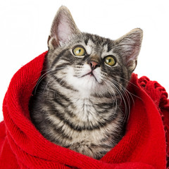 cute kitten with a red scarf