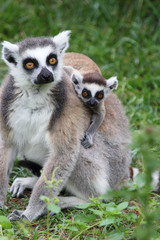 Ring-tailed Lemur Catta with baby