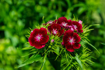 red flowers, Chinese carnation in the garden