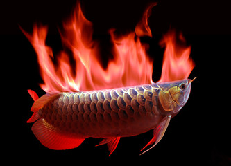 Fish Asian Arowana fish on black background