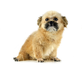 Mixed-breed dog puppy  on white background