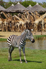 one young zebra in thai zoo