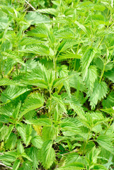 nettles  as nature background
