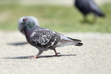 feral pigeon on the park poster