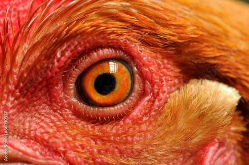 Tuinposter Kip Chicken Eye Close-Up