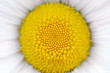 Middle of Daisy (Camomile) Flower Macro