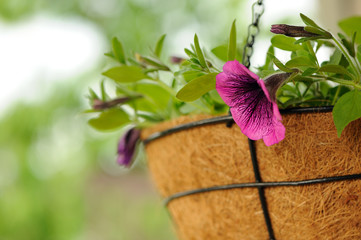 Pink Petunia Flowers in Basket