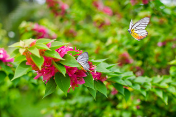 Bougainvillea with Butterfly